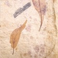 Myrica sp. and Daphnogene (Cinnamomum) lanceolatum