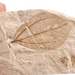 Daphnogene (Cinnamomum) polymorphum