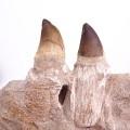 Prognathodon anceps