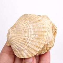 Chlamys (Aequipecten) opercularis