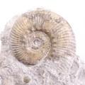 Denckmannia sp.