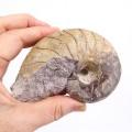 Cenoceras sp.
