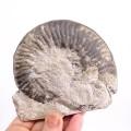 Phymatoceras narbonense