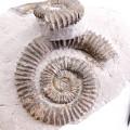 Aegocrioceras raricostatum