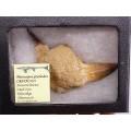 Platecarpus ptychodon