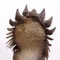 Crotalocephalus gibbus