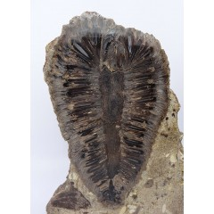 Araucaria alvarezii