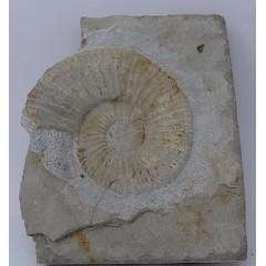 Berriasella (Picteticeras) jauberti