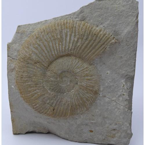 Berriasella (Picteticeras) moesica