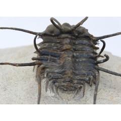 Ceratonurus sp.