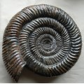 Speetoniceras versicolor