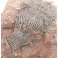 Scyphocrinites elegans