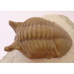 Asaphus punctatus
