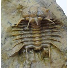 """Ceratocephala sp. """"new specie""""  SOLD"""