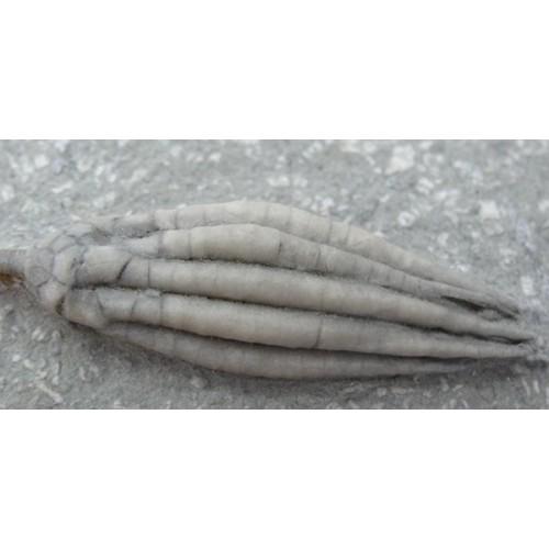 Scytalocrinus decadactylus