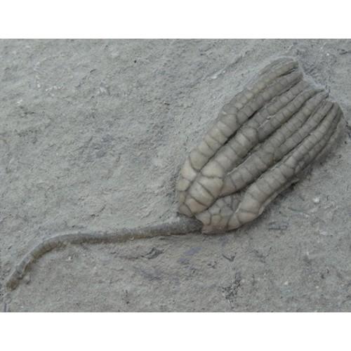 Sarocrinus varsovensis