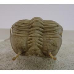 Cybele bellatula