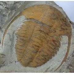 Hamatolenus cf. marocanus