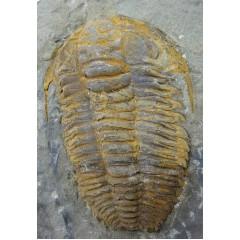 Latoucheia (Pseudolenus) ourikaensis