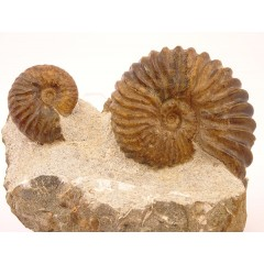 Tetrahoplites finitimus and Tetrahoplites rossicus