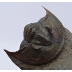 Tropidocoryphe amuri