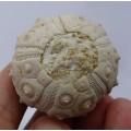 Dorocidaris taouzensis