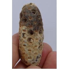 Equicalastrobus chinleana