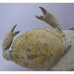 Harpactocarcinus punctulatus