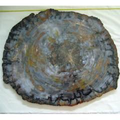 Araucarioxylon arizonicum