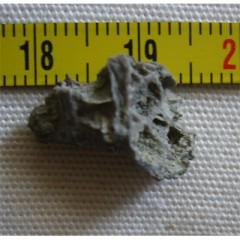 Pleurodictyum sp.