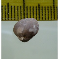 Aulacothyris sp.