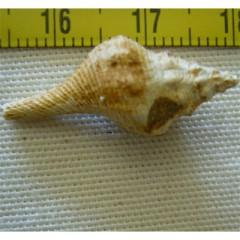 Euthriofusus burdigalensis