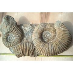 Ammonite