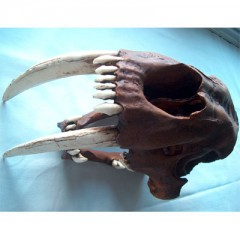 Smilodon sp.