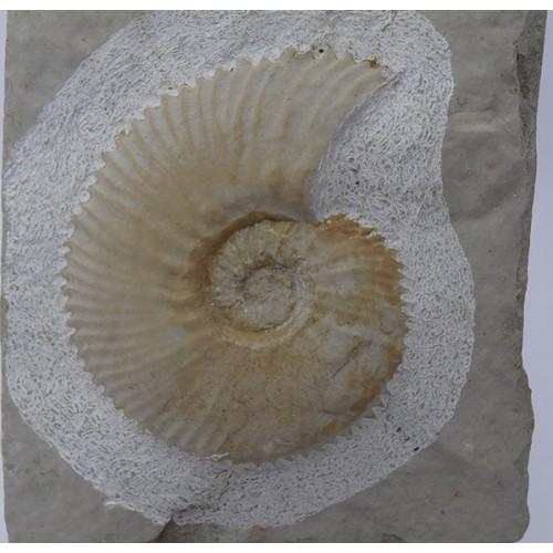 Subalpinites fauriensis
